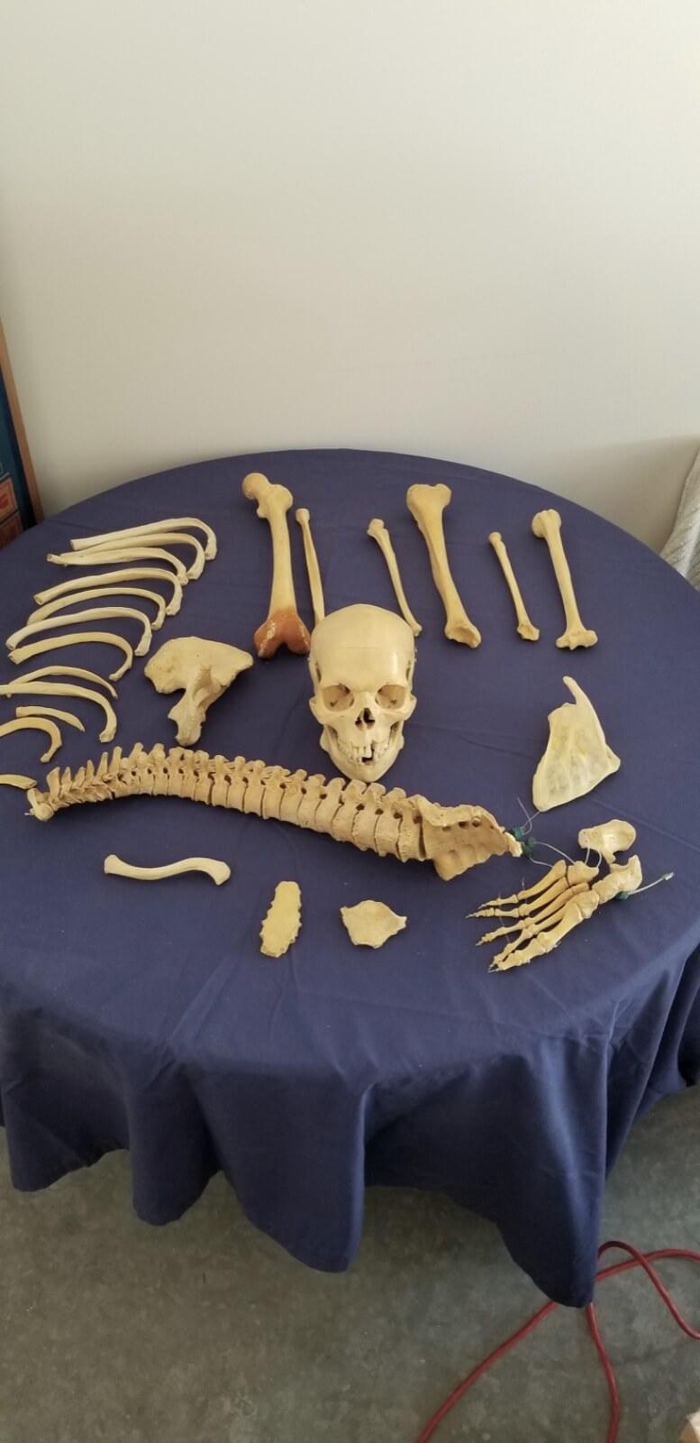 Human Bones for study
