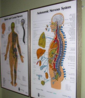 autonomic nervous system spinal nerve charts