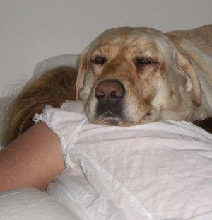 70+ pound custom made labrador back and neck warmer
