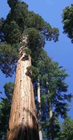 Great Big Tree - Bigger Than You Think