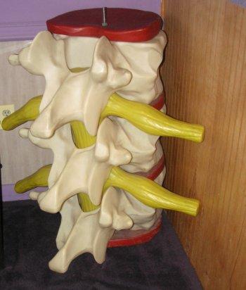 lumbar spine model nerves discs