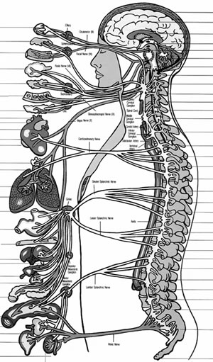 Sympathetic Nerves and Maintaining Good Health